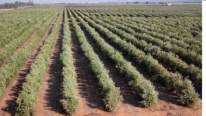 California Table Olive Forecast Up 9%