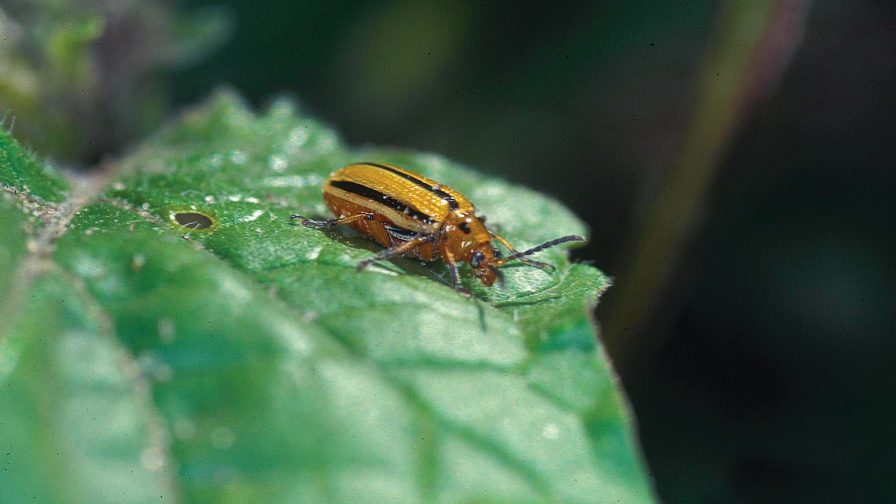 The striped cucumber beetle is a vector of the bacterial wilt pathogen. Photo credit: Gerald Holmes