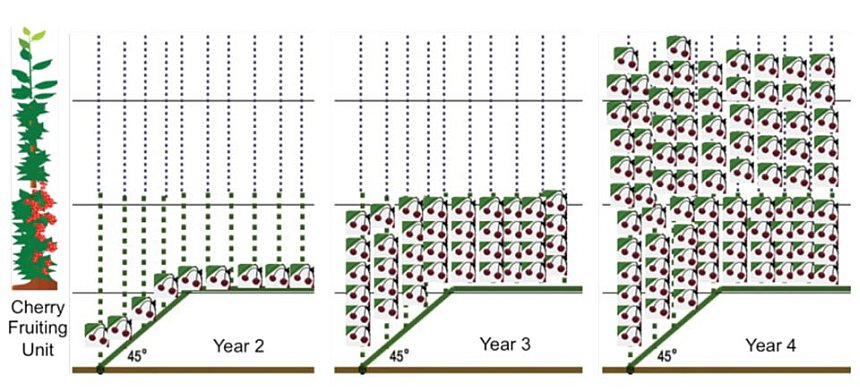 This diagram illustrates the second, third, and fourth years of the upright fruiting offshoots growing system. (Graphic: Greg Lang)