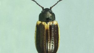 Yellowmargined Leaf Beetle Causes Problems for Organic Growers
