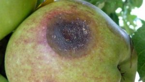 Growers Report Bitter Rot On Apples
