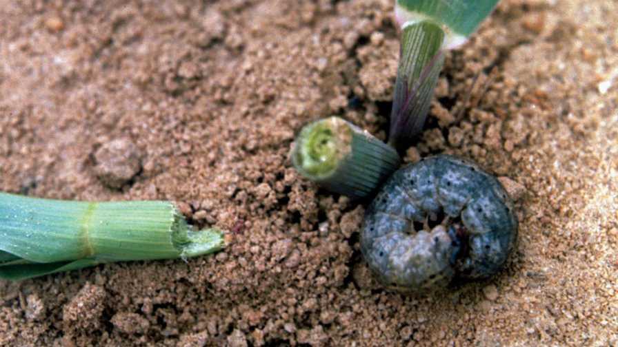 closeup of a black cutworm