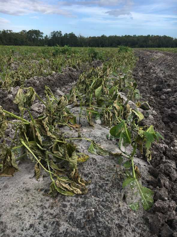 Closeup of Hurricane Matthew-damaged snap beans in Northeast Florida