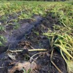 Closeup of Hurricane Matthew-damaged squash crops in Northeast Florida