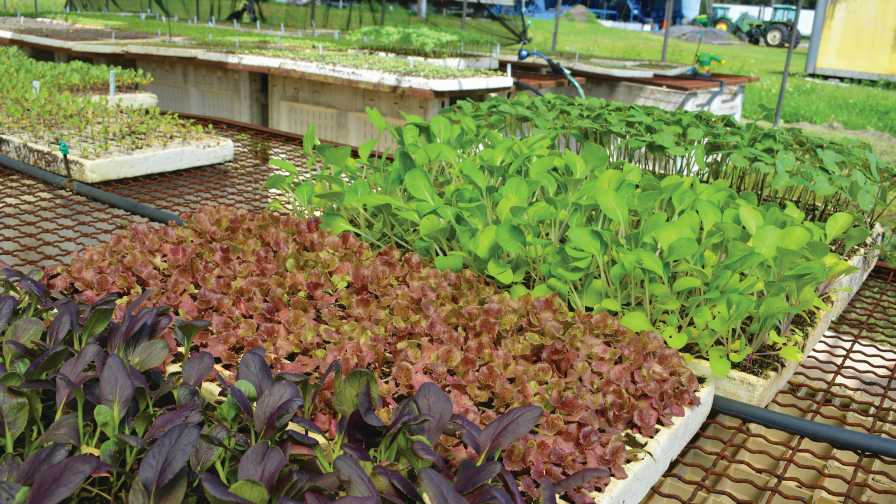 Microgreens being grown at Blue Sky Farms
