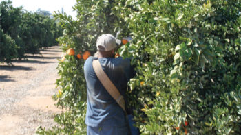California Citrus Mutual and the Citrus Pest and Disease Prevention Program have spearheaded an effort to educate field crews about best practices to prevent the movement of plant material between harvest sites. (Photo Credit: David Eddy)