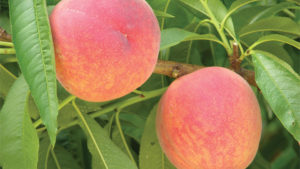Northeast Peach Crop Rebounds