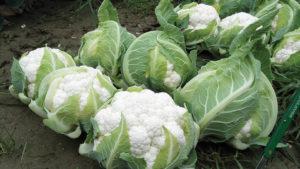 Harris Moran Seed Company 2016 Vegetable Variety Showcase