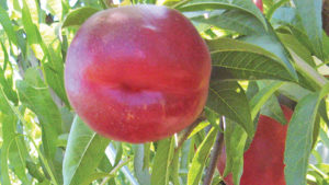 (USPP#26,610) A yellow clingstone nectarine that ripens between June 16 to 26. The fruit is very large, firm, has great flavor and has good storage and shipping qualities. The tree is large and vigorous and produces an excellent crop. Requires approximately 450 hours of chill.
