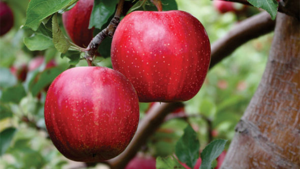 This high-color sport starts to color one month earlier than its parent, Imperial Gala. It has a 100% deep-red color with a stripe. The fruit size, flavor, and quality similar to Imperial, and storage is as good as any other Gala.