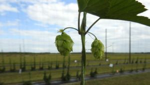 Up-close shot of a hops plant during the 2016 Florida Ag Expo