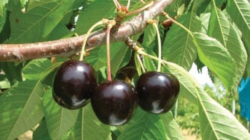 BlackPearl® is the best early season cherry, ripening 10 days before Bing and around Chelan. It has exceptional flavor and is extremely firm and crunchy. BlackPearl® is medium size with 20% sugar and keeps better that most other cherries. The tree is hardy and canker resistant. Early season bloom, S4 unknown.