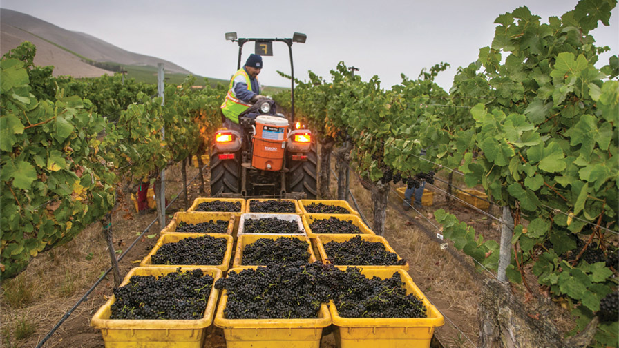The harvest bins weren't necessarily bursting this year in California winegrape country, but the quality was repeatedly described by industry veterans as outstanding. (Photo Credit: George Rose, California Wine Institute)