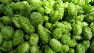 A Hops Crop To Be Thankful For