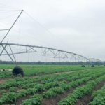 Low-volume center pivot irrigation at Jones Potato Farm in Florida