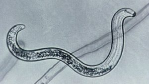 Bacteria May Help Control Lesion Nematodes