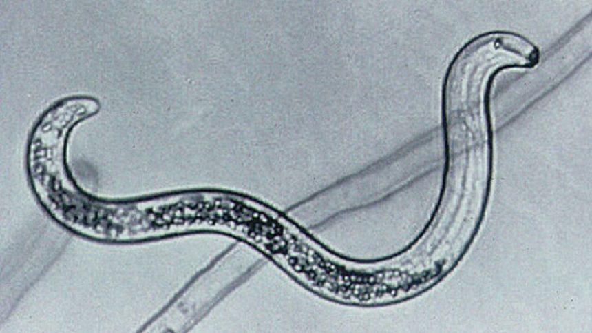 Bacteria May Help Control Lesion Nematodes