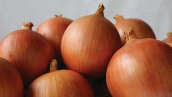 seminis-tucannon-onion-for-web