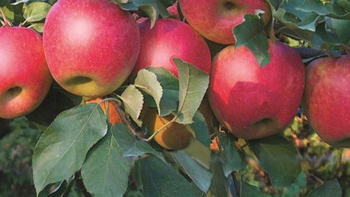 Stark Bro's Debuts Two New 'Honeycrisp' Crosses