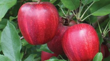 Buckeye® Prime is a beautiful mutation of the original Buckeye® Gala with a brighter cherry-red color and much heavier striping. Buckeye® Prime retains the original Buckeye ability to color in hot climates. Buckeye® Prime is virtually 100% red with a bold, darker-red stripe and the same ability as its parent to produce high-quality, beautiful apples. USPP 24,639