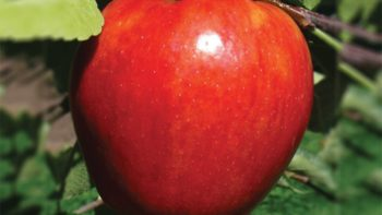 "A new Italian cross of Gala and Elstar, Red Rubens® combines intense apple flavor with a pleasing sweet-tartness. The fruit is crisp, juicy and conical in shape. A favorite in Europe, it now is available in the U.S. by exclusive license with North American INN, LLC.  This is one of Van Well Nursery's ""Faces of the Future."" USPP#14,177"
