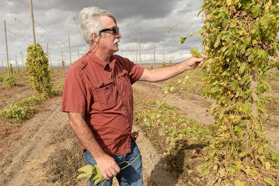 WSU hop researcher Doug Walsh at a harvested field in Prosser, WA, in October. (Photo credit: Washington State University)