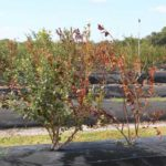 Bacterial wilt symptoms in Florida blueberries