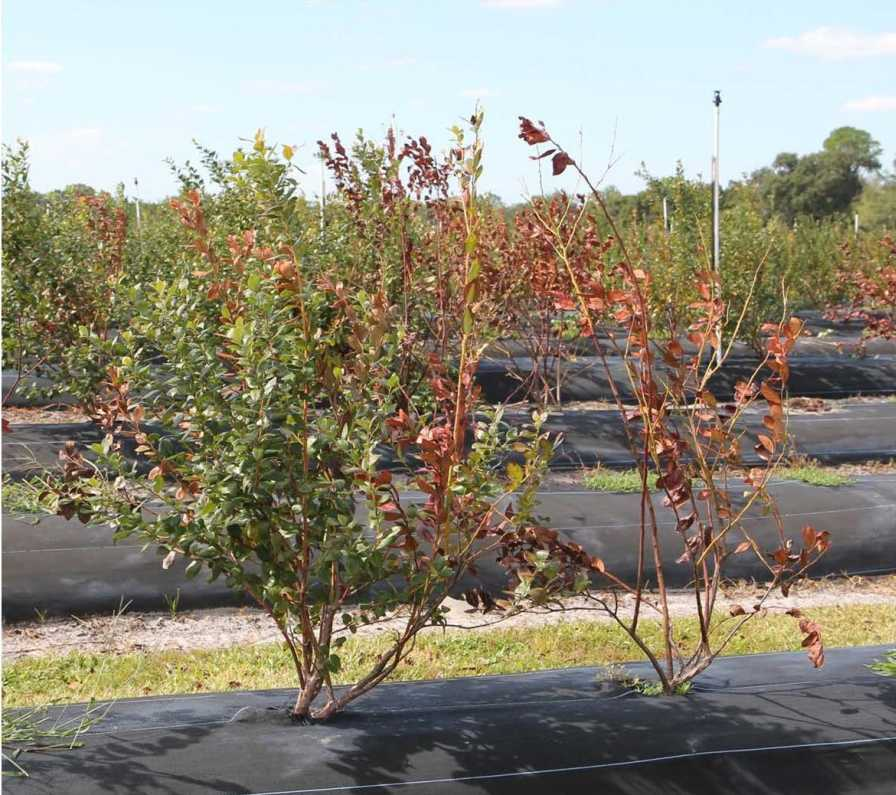Bacterial wilt symptoms in Florida blueberries