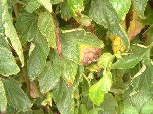 gray-leaf-spot