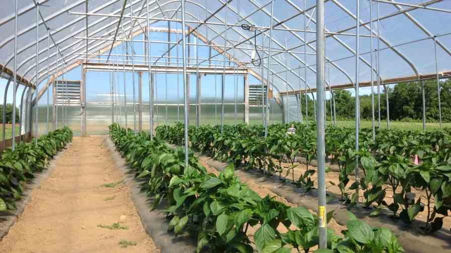 A bell pepper trial in New Hampshire was designed to evaluate the performance of greenhouse and field pepper varieties in unheated tunnels. Photo credit: Becky Sideman