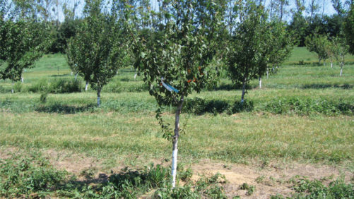 Tips To Keep Your Stone Fruit Orchard Clean