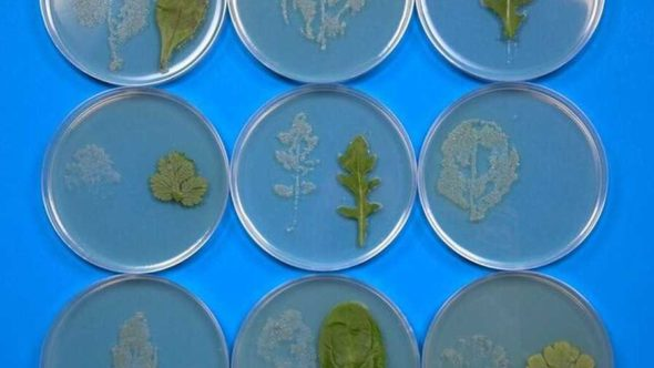 This image higlights salad leaf microflora prints. Photo credit: The University of Leicester