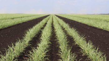 Sugarcane variety CP 09-1952
