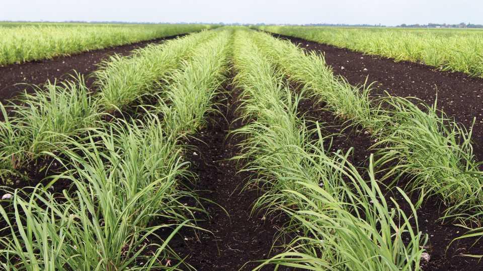 Sugarcane variety CP 09-1385