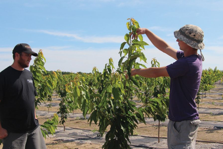 Mark Schiller, right, shows the type of growth desired in his family's newest high density sweet cherry orchard while Jack King looks on. (Photo credit: Christina Herrick)