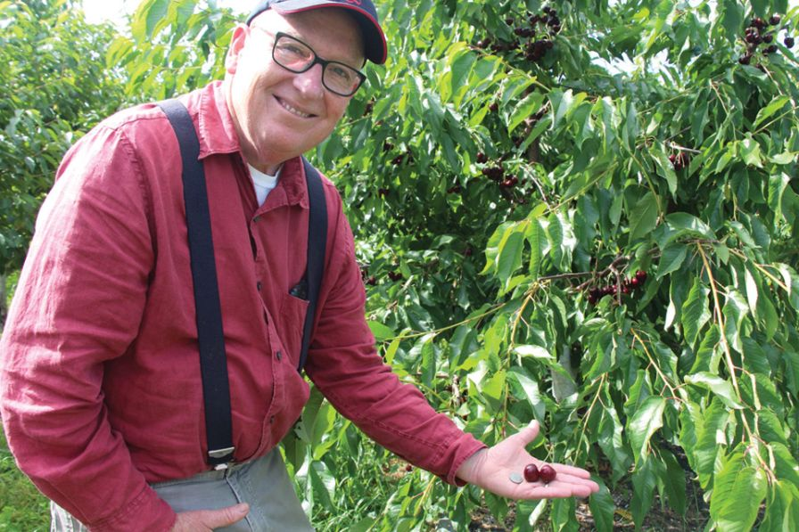Sweet cherries larger than quarters as found in one of the family's early high density sweet cherry blocks make John King smile. (Photo credit: Christina Herrick)