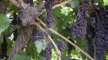 'Sunpreme' raisin grapes drying naturally on the vine. (Photo credit: Craig Ledbetter, USDA-ARS)