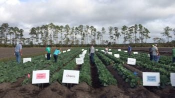 Florida cabbage field day attendees take a close look