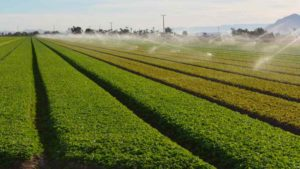 Sprinkler irrigation is used on a field of baby lettuce in the Imperial Valley, a winter desert production region in Southern California. Photo credit: David Still