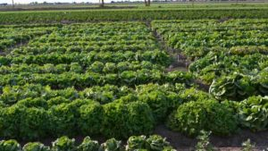 Scientists Aim To Improve Nitrogen, Water Use Efficiency In Lettuce