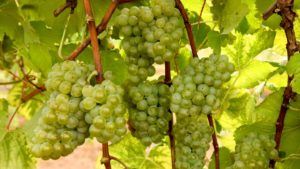 University of Arkansas Debuts New Winegrape Varieties