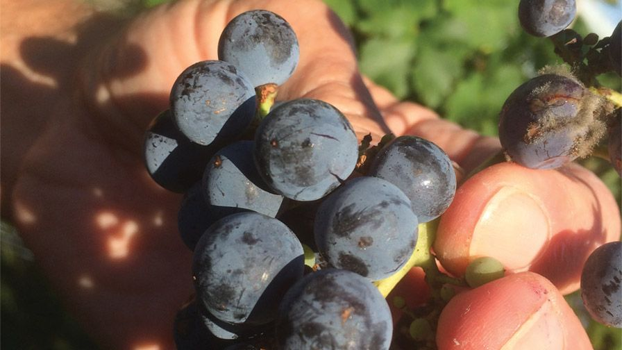 Split 'Cabernet' grapes like the ones shown are compromised fruit that should have been harvested before a rain storm. (Photo credit: Tremain Hatch)