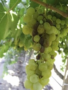 'Sunpreme,' a new ARS-developed raisin grape that dries on the vine, saving labor costs. (Photo credit: Craig Ledbetter, USDA-ARS)