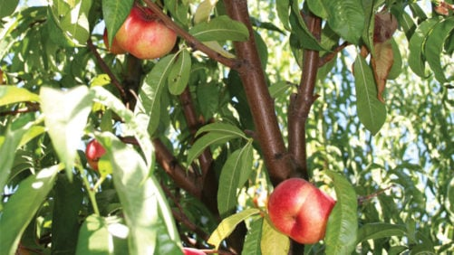 State of the Industry: Stone Fruit Growers are Optimistic