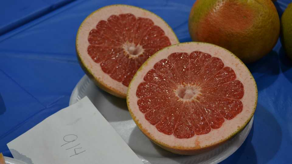 UF/IFAS 914 grapefruit
