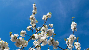 Understanding Almonds: Full Bloom Diseases
