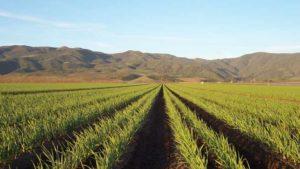 California Garlic Grower to Raise Minimum Wage 30% by Next Year