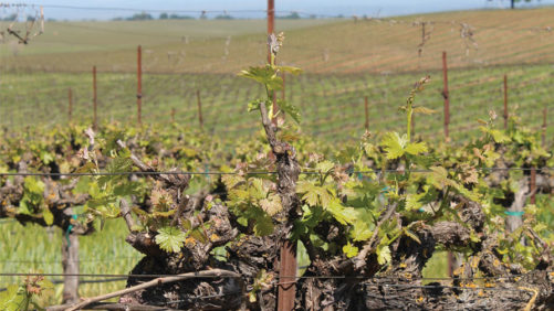 Meet Wendy Brannen, New Executive Director of the Lodi Winegrape Commission