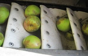 Bruising from mechanically harvesting cider apples did not affect fruit or juice quality. (Photo credit: Washington State University)