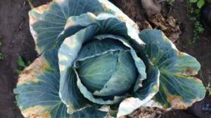 Take Care to Defend Cruciferous Crops From Black Rot